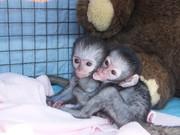 Healthy charming capuchin monkeys